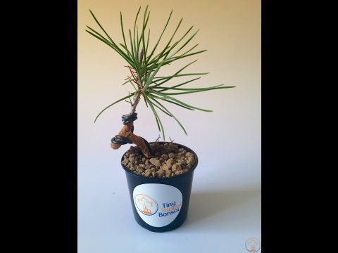 How to: Repot and Wire Young Japanese Black Pine Bonsai