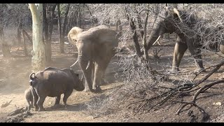Elephant and rhino interaction