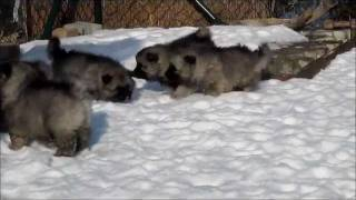 Furry Balls In The Snow ( Keeshond Puppies, 5 Weeks Old)