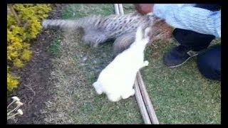 देखें तेंदुए का बच्चा कैसे करता है शिकार