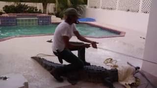 Crocodile in swimming pool