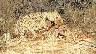 "Cheetah ""Threesome"""