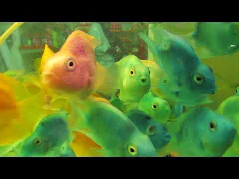 Blue/Orange/Pink Parrot Fish At Kolathur