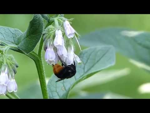 Black Bumblebee Switches Foraging Behaviours クロマルハナバチ♀がコンフリーで盗蜜/正当訪花
