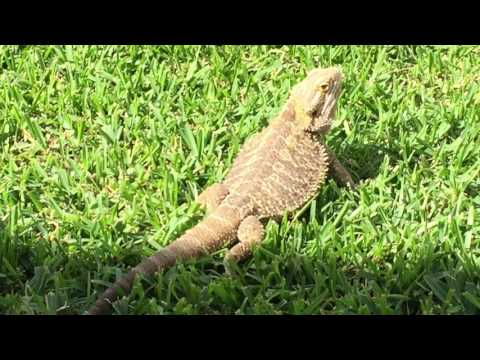 T-rex the central bearded dragon