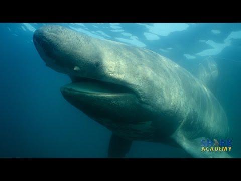 Basking Sharks | SHARK ACADEMY