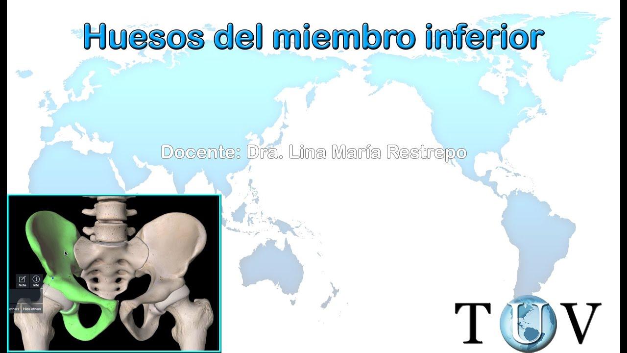 huesos del miembro inferior (cintura pélvica) - Anatomía del cuerpo ...