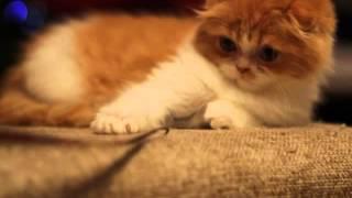 Colorit Orange, котенок хайленд фолд, продается!