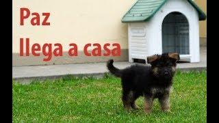 ✅ Paz, el primer día de una cachorra de pastor alemán en casa. 2 meses de nacida