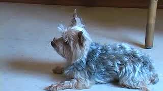 How to Teach Your Yorkie to Stay With These Dog Obedience Tips for Yorkshire Terriers