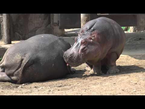 하마 ( Hippo )