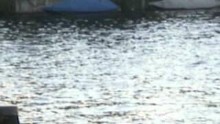 Haifisch bei Schaffhausen im Rhein