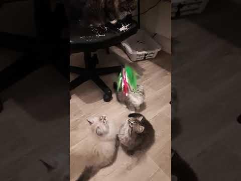 Les chats coucou suisse