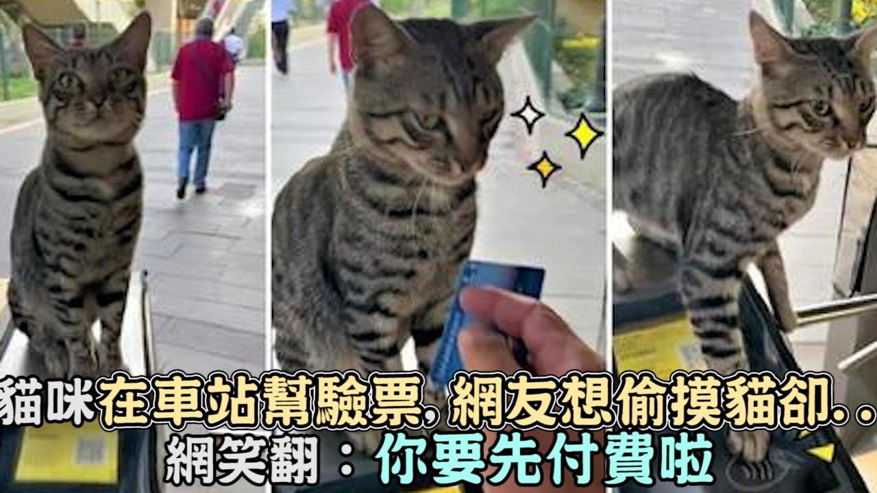 貓咪在車站認真幫驗票,網友想偷摸貓卻...網笑翻:你要先付費啦!