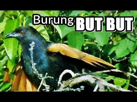 burung-but-but-liar-di-perkebunan