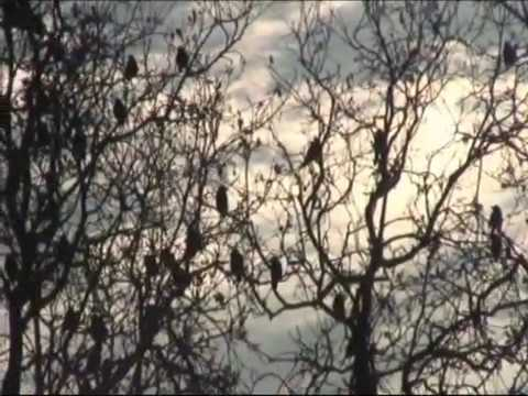 How Hawks Are Used For Bird Control