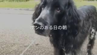 大型犬、ラージミュンスターレンダーのボン爺ちゃん、お外でも飼い主の...