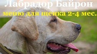 Меню щенка Лабрадора 2-4 месяца(Labrador puppy menu 2-4 months)