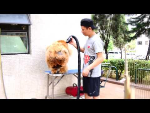 chow chow grooming