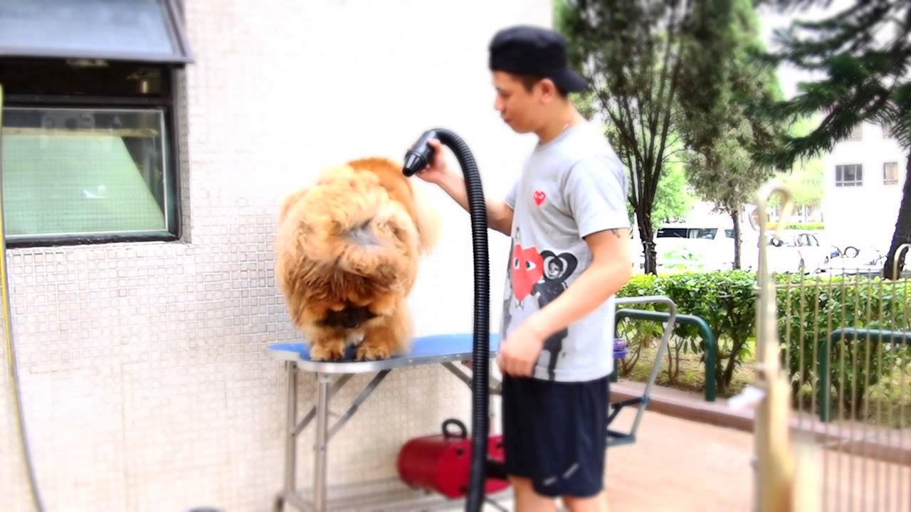 how to groom a chow
