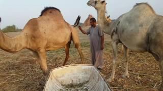 علاقة الإنسان بالحيوان والطبيعة - قرية الضبية بمنطقة جازان - في ضيافة آل خواجي
