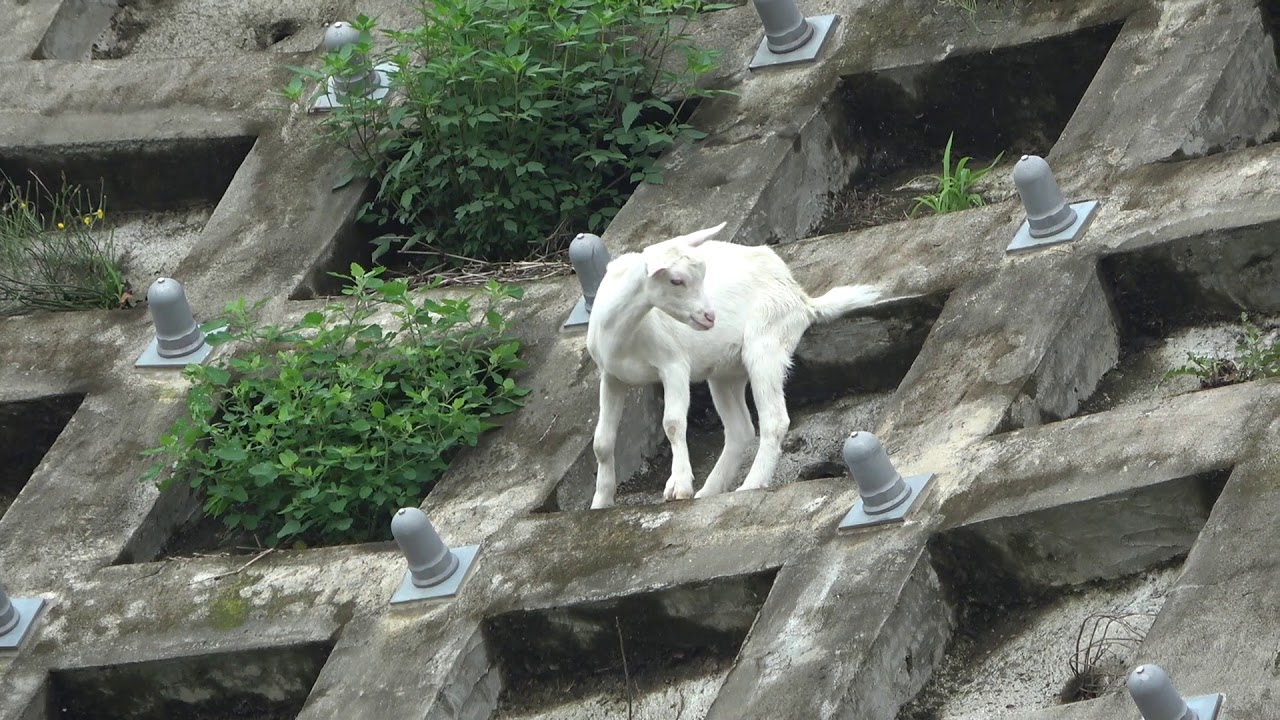 崖の上のポニョ/崖のヤギ