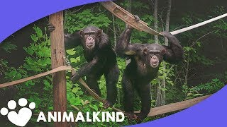 Chimps see the sky barrier-free for first time