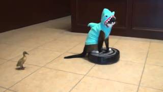 Shark Cat on Roomba Chasing Duck - Original HD TWT Version