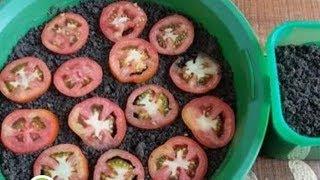 Teknik Menanam Tomat Dari Buah