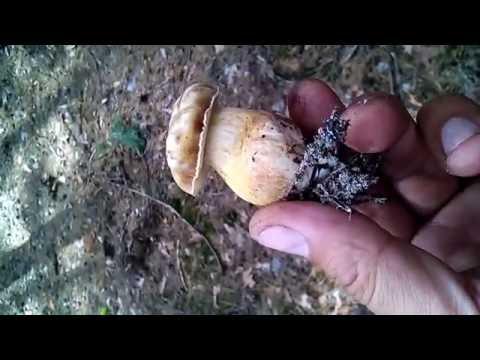 Желчный гриб (горчак). Ложный белый гриб