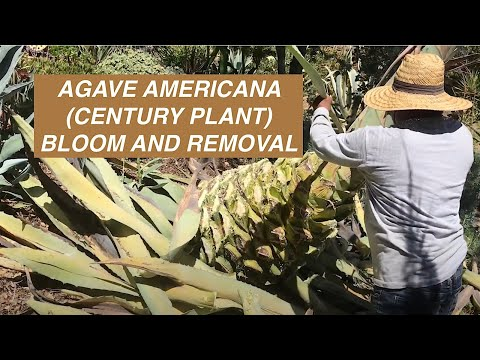 How To Remove A Huge Agave (Century Plant)