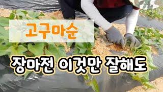 고구마 순관리 장마전 이것만 해도 두배 수확 가능한 꿀팁,Double the yield of sweet potato net.