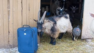 Billy Goes on Vacation - Our Stud Pygmy Goat thumbnail