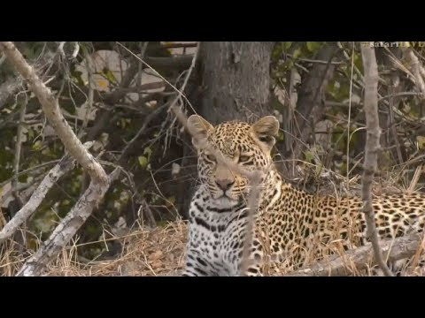 Safari Live : Hosana Male Leopard on drive this morning with Tristan  Sept 09,2017
