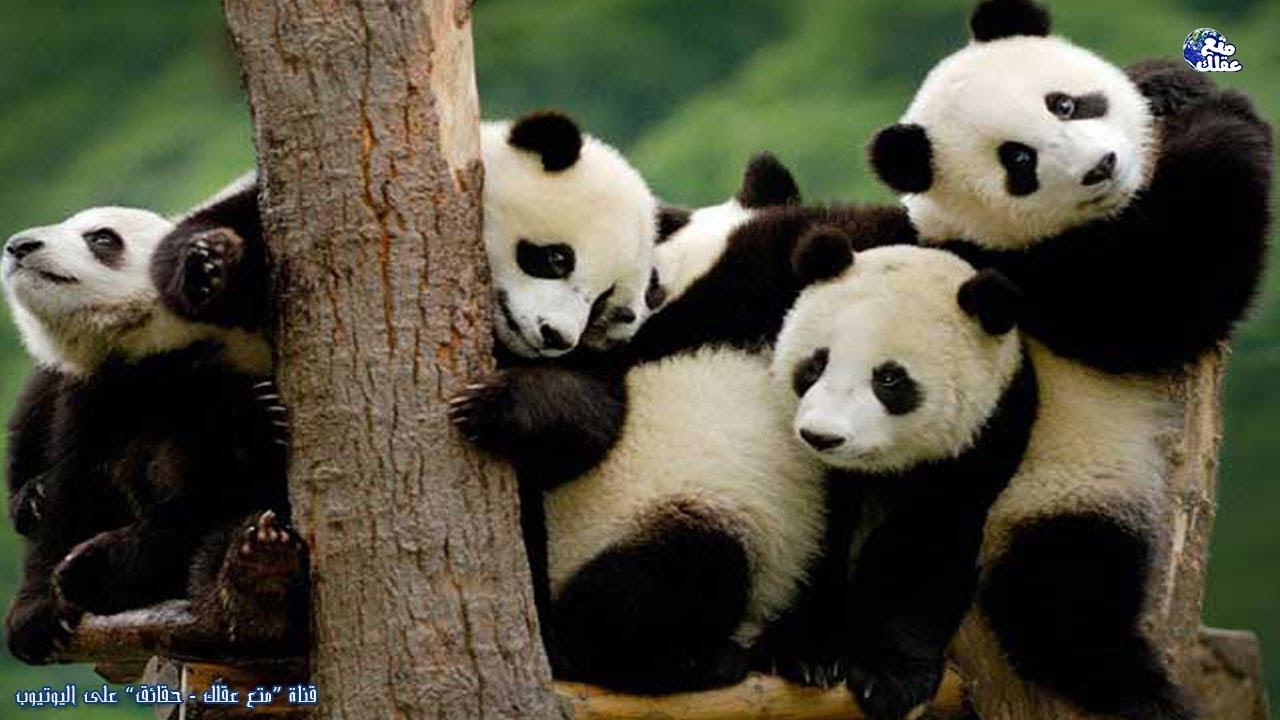 حقائق مدهشة وعجيبة عن دب الباندا لماذا نحب هذه الحيوانات الضخمة Youtube