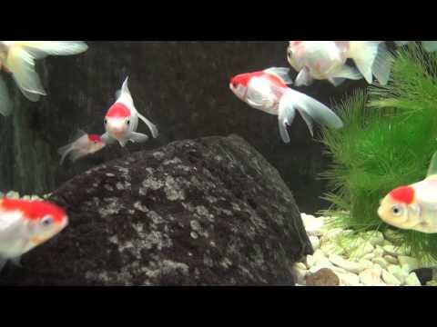 Mis tipos de peces ornamentales y comunitarios doovi for Cria de peces ornamentales