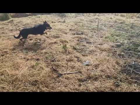 Australian kelpie ROCKO(7 WEEKS IN TRAINING)