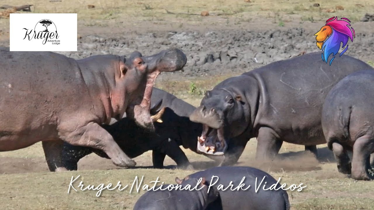 Brave Hippo's Defend Their Babies Against Aggressive Male Kruger National Park.