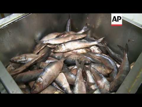 Salted Fish Is Prepared Ahead Of Pharaonic Easter
