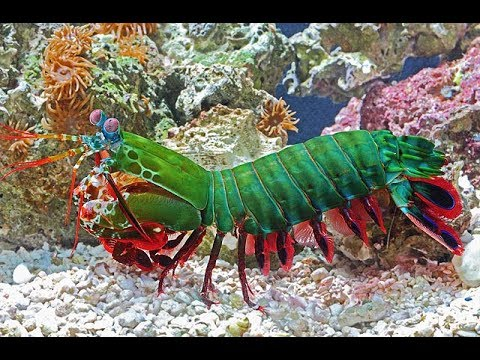 "Peacock Mantis Shrimp: The ""boxer shrimp"" - YouTube"