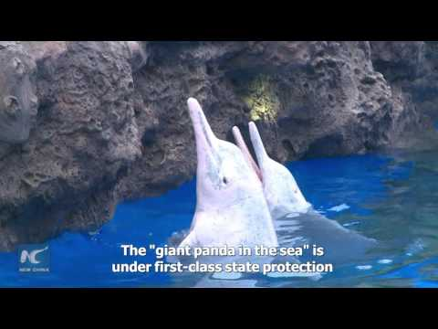 Giant panda in the sea! Chinese white dolphins debut in S China aquarium