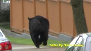 Tranquilized Black Bear Being Chased By Vancouver Police