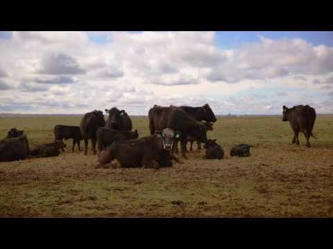 Bruce Nielsen  |  Increased Feed Efficiency From Indoor Cattle Feeding