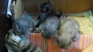 Сибирская кошка. Котята. 26 дней.
