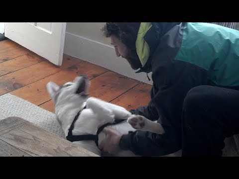 Cute Husky Says 'No' to the Kennel