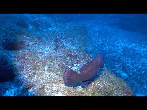Kure 300ft Hawaiian Grouper
