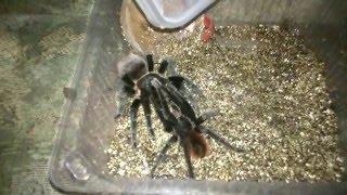 спаривание пауков Brachypelma vagans