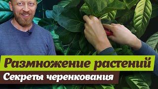 Черенкование комнатных растений.  Советы биолога