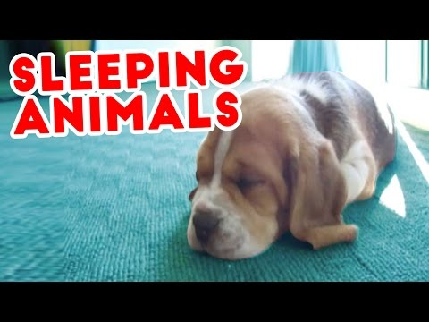 SWEET CATS DREAMS, DOGS CUDDLING & MORE Sleepy Pet Videos of 2016 Compilation | Funny Pet Videos