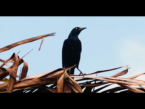 Great-Tailed Grackle (Quiscalus Mexicanus) - Loud And Proud Birds